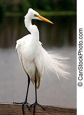 Great egret (Ardea alba) with breeding plumage