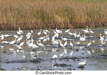 Great Egrets (Ardea alba), also known as Great White Egret,...