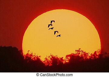 Great egrets; casmerodius albus in a Flight; Pune; Maharashtra; India;