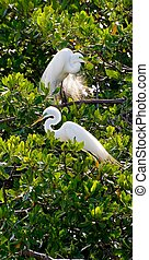 Great Egrets (Casmerodius albus) in Tree Along Monkey River, Toledo District, Belize