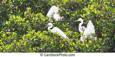 Great Egrets (Casmerodius albus) in Tree Placencia Lagoon, Stann Creek District, Belize