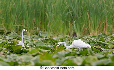 Great Egrets in a marsh wetlands