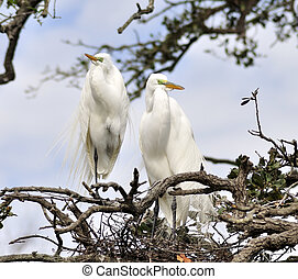Great Egrets On The Nest
