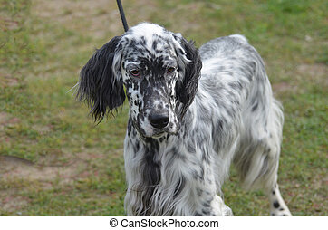 Great English Setter Dog on a Leash