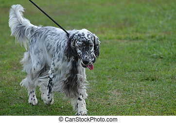 Great English Setter Dog Wlaking on a Leash