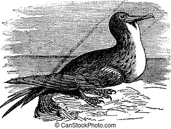 Great Frigatebird or Fregata minor vintage engraving