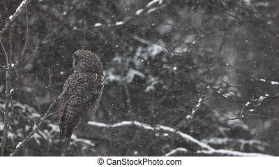 Great Gray Owl in a blizzard - Great Gray Owl, Strix...