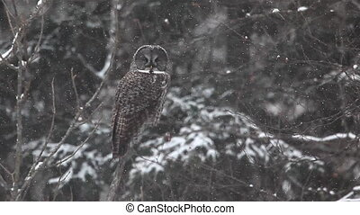 Great Gray Owl in a heavy snowfall - Great Gray Owl, Strix...