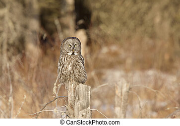 Great Gray Owl Manitoba Canada
