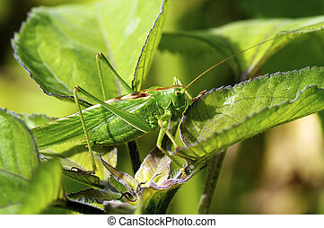Great Green Bush Cricket