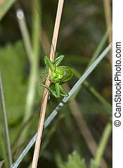 great green bush-cricket (Tettigonia viridissima)