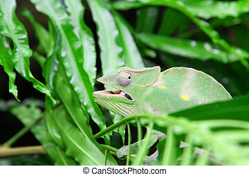 Great Green Chameleon camouflages itself in the midst of the gre