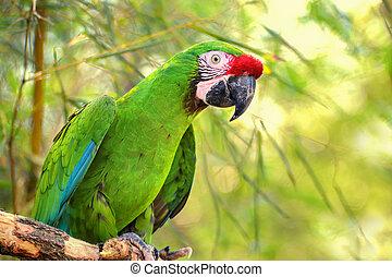 Great green military macaw (Ara militaris mexicana) portrait