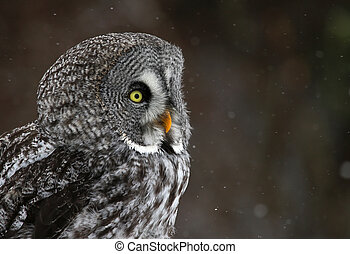 Great Grey Owl Face - The face of a Great Grey Owl (Strix...