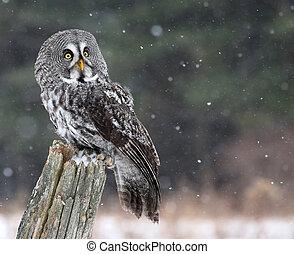 Great Grey Owl Looking - A Great Grey Owl (Strix nebulosa) ...