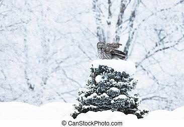 Great Grey Owl perching on a tree in winter
