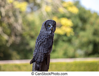 Great grey owl (Strix nebulosa). Night birds of prey