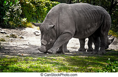 Great grey rhinoceros without a horn with a baby standing on the path in the woods. The horizontal frame.