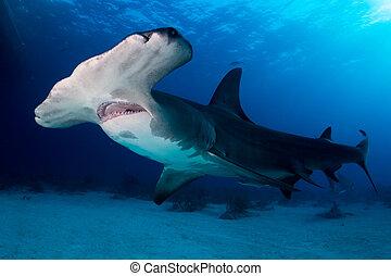 A Great Hammerhead shark around Bahamas in Tiger Beach