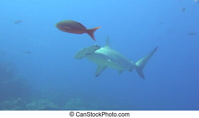 Great hammerhead shark on background underwater landscape in sea of Galapagos.