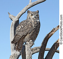 Great Horn Owl Perch on a branch