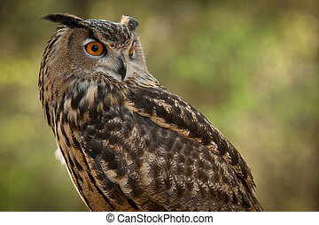 Great Horned (Bubo virginianus) - Great Horned Owl looking ...