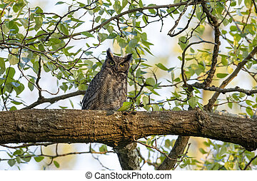 great horned owl at Delta  BC Canada