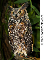 Great Horned Owl, (Bubo virginianus), also known as the ...