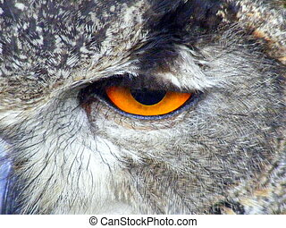great horned owl, Bubo virginianus - Bubo virginianus