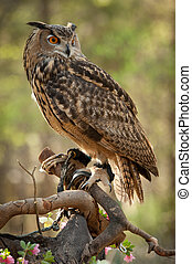 Great horned owl (Bubo virginianus) - Great horned owl ...