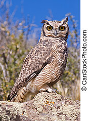 Great Horned Owl (Bubo virginianus) in the Patagonian steppe...