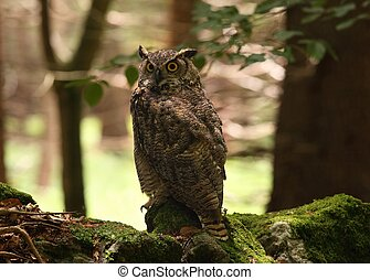 Great horned owl /Bubo virginianus/
