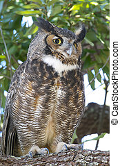 Great Horned Owl, Bubo virginianus, on tree limb with leaves...