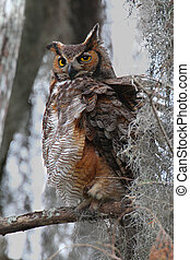 Great Horned Owl (Bubo virginianus) perched in a tree with...