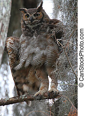 Great Horned Owl (Bubo virginianus) perched in a tree with ...