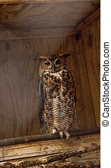 Great Horned owl Bubo virginianus perched in the shadows of ...