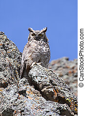 Great Horned Owl (Bubo virginianus) perched on rocks in the ...