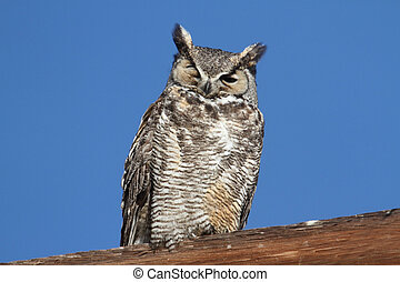 Great Horned Owl (Bubo virginianus) perched with a blue sky ...