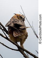Great Horned Owl, Bubo virginianus, Sand Lake South Dakota