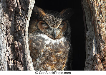 Great Horned Owl (Bubo virginianus) sleeping in a hole in a ...