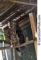Great Horned Owl Bubo virginianus takes shelter in a wooden ...