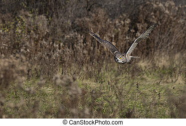 Great horned owl (Bubo virginianus) - The great horned owl (...
