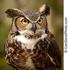Great Horned Owl - Close up face shot of a great horned owl ...