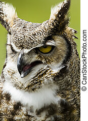 Great Horned Owl - Close up of great horned owl in...