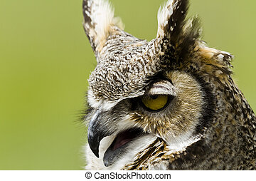 Great Horned Owl - Close up of great horned owl in captivity...