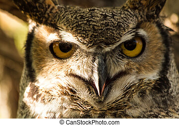 Great Horned Owl - Close up view of a Great Horned owl eyes ...