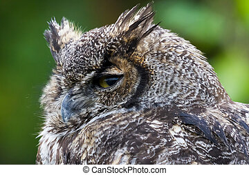 Great Horned Owl  - Great Horned Ow close up shot, BC Canada