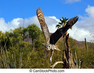 Great Horned Owl - Great Horned Ow in flight