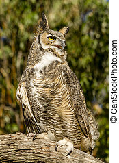 Great Horned Owl in Autumn Setting - Great horned owl...
