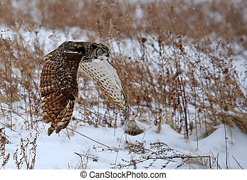 Great Horned Owl in Flight - A Great Horned Owl (Bubo ...